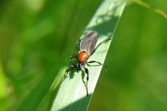 Weibliche Gartenhaarmücke. Foto: Beatrice Jeschke