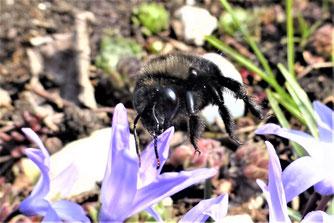 Große Blaue Holzbiene im Anflug. Foto: Hansjürgen Gerstner