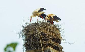 Weißstörche auf ihrem Nest in Lützschena. Foto: Beatrice Jeschke