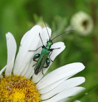 Der Blaugrüne Schenkelkäfer wurde beim Insektensommer auf dem Ostfriedhof nachgewiesen. Foto: Beatrice Jeschke
