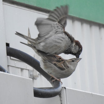 Der Haussperling (hier Männchen und Weibchen) belegt bei der Stunde der Gartenvögel erneut den 1. Platz, weil er besonders häufig beobachtet und gemeldet wird. Foto: Beatrice Jeschke