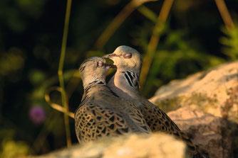 Dem verliebte Turteln verdankt die kleine Taube ihren Namen. Die Balz beginnt zwischen Ende April und Mitte Mai. Foto: NABU/Ralf Thierfelder