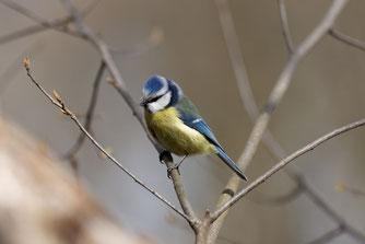 Blaumeise. Foto: NABU/Hartmut Mletzko