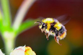 Fliegende Hummel. Foto: Josef Pichler/pixabay