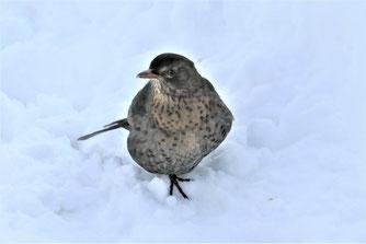 Amsel im Schnee. Foto: Hansjürgen Gerstner