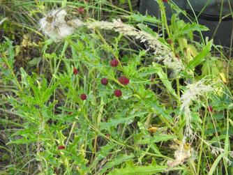 Im Vorjahr wurde der Dunkle Wiesenknopf noch von anderen Pflanzen überwuchert. Die zusätzliche Frühmahd soll ihm einen Entwicklungsvorteil verschaffen. Foto: Beatrice Jeschke