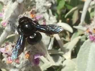 Große Blaue Holzbiene. Foto: Rosemarie Weiß