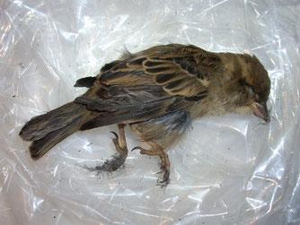 Mit verklebtem Gefieder verendete der Haussperling als Opfer der Vogelabwehrpaste.