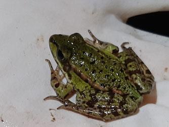 Auch dieser kleine Frosch wurde sicher zum Laichgewässer gelotst. Foto: Tina Frank