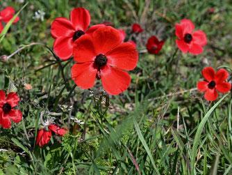 Die Blüten von Anemone coronaria können sehr unterschiedlich gefärbt sein: rot, blau oder violett, aber auch rosa oder weiß. Foto: Hans Schwarting/naturgucker.de