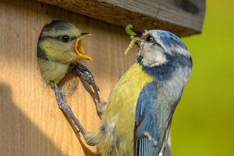 So wie die meisten heimischen Vogelarten, füttern auch Blaumeisen ihre Jungen mit Insekten. Foto: NABU/Rita Priemer