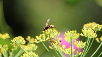 Bei der Hochsommerzählung kann besonders auf Wespen geachtet werden. Foto: Ina Ebert