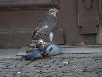 Happyend für den Sperber: Er konnte sich die Taube schnappen und mit seiner Beute davonfliegen.