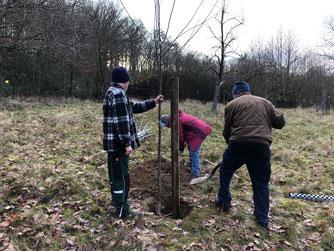 Auf der Streuobstwiese werden neue Bäume gepflanzt. - Foto: Dr. Nick Büscher