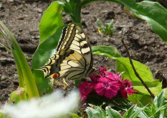 Schwalbenschwanz auf pinken Blüten