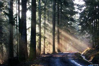 Sentier des Sapins Géants - Forêt de Callong - Rando Pyrénées Audoises