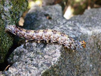 Raupe des Nachtkerzenschwärmers Proserpinus proserpina