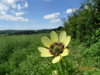Sommer-Adonisröschen, Adonis aestivalis in gelb