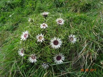 Silberdistel, Carlina acaulis subsp. simplex