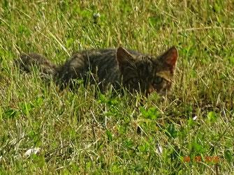 Wildkatze, Felis silvestris