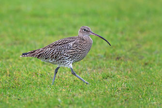 Großer Brachvogel (Foto: Frank Derer)