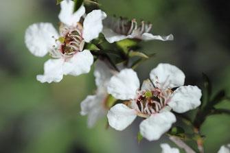 Fleurs d'arbre Manuka en NZ (île sud)