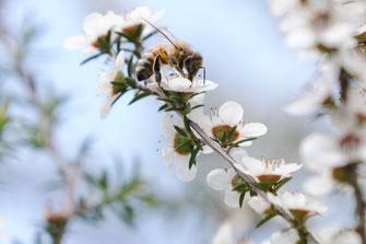 Abeille néo-zélandaise sur fleur de Manuka