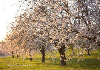 Trauerkarte mit blühenden Kirschbäumen, Trauerspruch