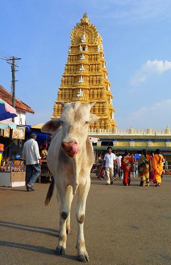 Die heiligen Kühe sind in Indien allgegenwärtig