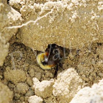 Bild: Weibchen der Gehörnten Mauerbiene, Osmia cornuta, sammelt Lehm/Erdklumpen für den Bau der Zwischenwände, bzw. des Nistverschlusses