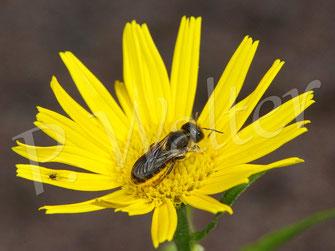 11.06.2020 : bauchsammelndes Wildbienenweibchen am Ochsenauge