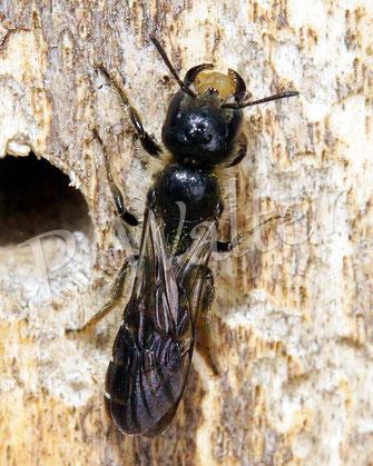 Bild: Hahnenfuß-Scherenbiene, Osmia florisomne, Weibchen mit Kieselsteinchen