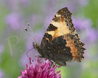 """Bild: Kleiner Fuchs, Aglais urticae, Schmetterling, am Allium """"Drumstick"""""""