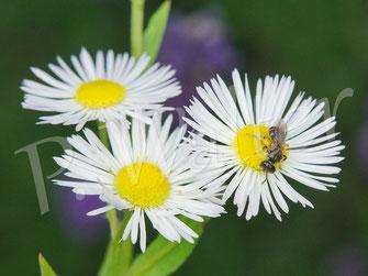 Bild: zuvor war die kleine Furchenbiene, Halictus spec., Weibchen, auf den Blüten des Einjährigen Berufkraut