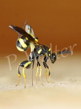 Bild: Erzwespe, Leucopsis dorsigera, Parasit u.a. bei Mauerbienen, hier bohrt sie ihren Stachel durch das Holz in die darin befindliche Nistkammer