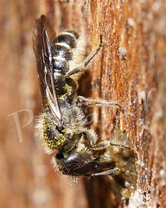 Bild: Hahnenfuß-Scherenbiene, Osmia florisomne, schließt einen Nistgang Bild: Hahnenfuß-Scherenbiene, Osmia florisomne, schließt einen Nistgang im Bohrloch im Holz