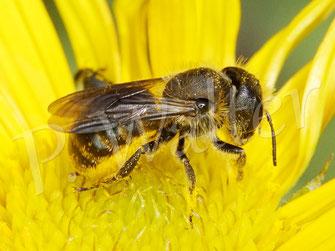 11.06.2020 : bauchsammelndes Wildbienenweibchen (Osmia ?) am Ochsenauge