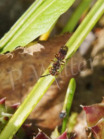 Bild: eine Wespenbiene, wahrscheinlich die Weißfleckige (Nomada alboguttata)