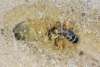 Bild: Braunbürstige Hosenbiene, Dasypoda hirtipes, RÜGEN (ausnahmsweise nicht aus dem Garten)