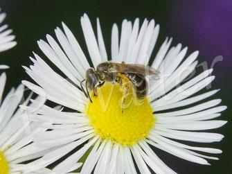Bild: kleines Furchenbienen-Weibchen, Halictus spec., auf den Blüten des Einjährigen Berufkraut