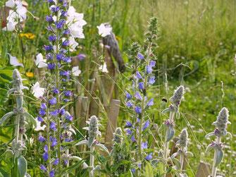 Pflanzempfehlungen für Wildbienen & Co.  -  Pollen- und Nektarquellen aus unserem Garten ...