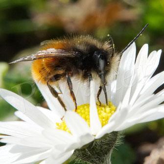 Bild: Gehörnte Mauerbiene, Männchen, Osmia cornuta, Wildbiene, Gänseblümchen