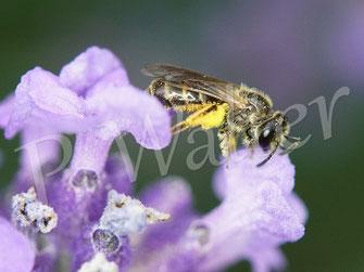 Bild: kleines Furchenbienen-Weibchen, Halictus spec., am Lavendel