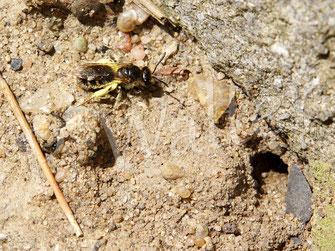 kleine Furchenbienen-/Schmalbienenart