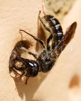 Bild: Hahnenfuß-Scherenbiene, Osmia florisomne, schließt einen Nistgang im Tonstein