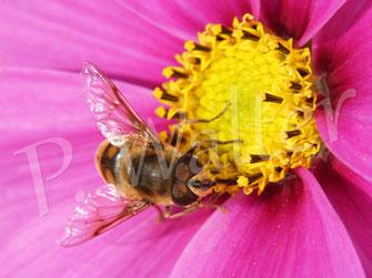 14.10.2019 : Schwebfliege an einer Cosmeenblüte