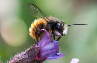 Gehörnte Mauerbiene © Stephan Rudolph
