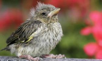 Junger Grünfink © Ralph Sturm, LBV Bildarchiv