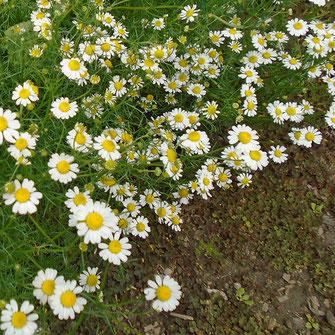 Bild Gänseblümchen
