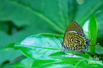 insects,butterfly, Nature, Knuckles, Sri Lanka, Knuckles Mountain Range, Wildlife, Animals, TravelSrilanka, VisitSrilanka, Trekking Sri Lanka, Hiking Sri Lanka, Trekking, Hiking, Adventure, Conservation, Holiday, Lodge, Camp, Guiding, Walks, Ecotourism, Q